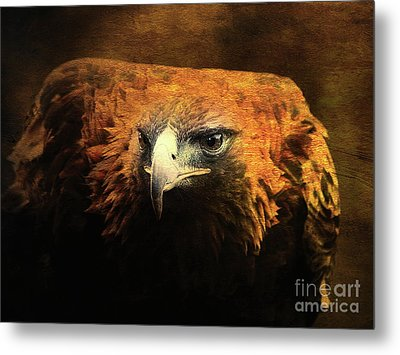 The Golden Hawk Locks On Target . R3593 Metal Print by Wingsdomain Art and Photography