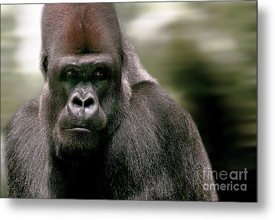 Metal Print featuring the photograph The Gorilla by Christine Sponchia
