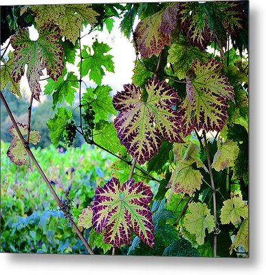 Metal Print featuring the photograph The Grape Vine by Corinne Rhode