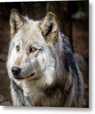 Metal Print featuring the photograph The Gray Wolf by Teri Virbickis