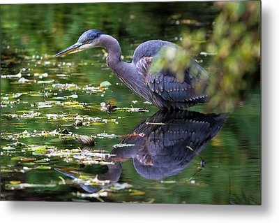 The Great Blue Heron Hunting For Food Metal Print by David Gn