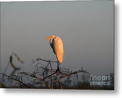 The Great Egret  Metal Print by David Lee Thompson