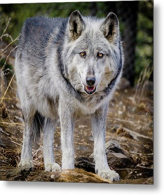 Metal Print featuring the photograph The Great Gray Wolf by Teri Virbickis