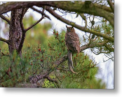 The Great Horned Owl And His Prey Metal Print