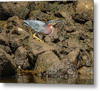 The Green Heron Metal Print by Jerry Cahill