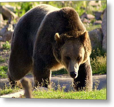 The Grizz Metal Print by Marty Koch