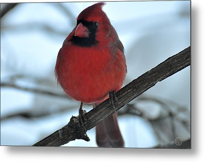 The Haughty Cardinal Metal Print by Healing Woman