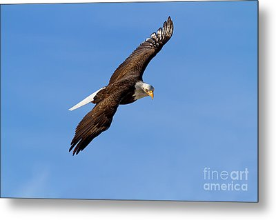 The Hunter Metal Print by Beve Brown-Clark Photography