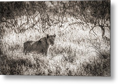 The Huntress - Black And White Lion Photograph Metal Print by Duane Miller