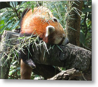 The Infamous Red Panda Metal Print by Eliot LeBow