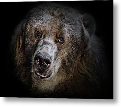 The Kodiak Bear Metal Print by Animus Photography