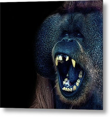 The Laughing Orangutan Metal Print by Martin Newman