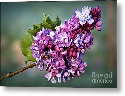 The Lilac Metal Print by Julia Hassett