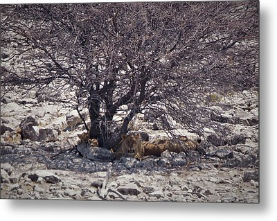 Metal Print featuring the photograph The Lion Family by Ernie Echols