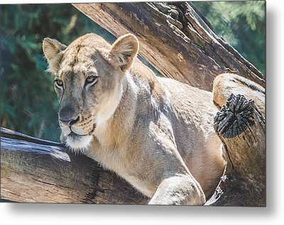 The Lioness Metal Print by David Collins