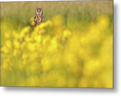 The Long Eared Owl In The Flower Bed Metal Print by Roeselien Raimond