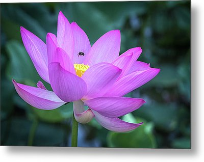The Lotus And The Bee Metal Print