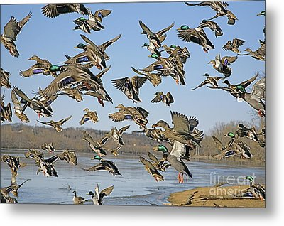 The Mad Rush Metal Print by Robert Pearson