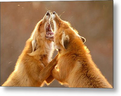 The Meeting _ Red Fox Fight Metal Print by Roeselien Raimond