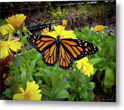 The Mighty Monarch  Metal Print