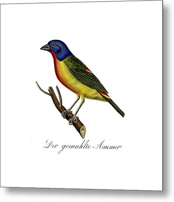 The Painted Bunting Metal Print by Unknown