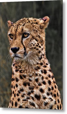 The Pensive Cheetah Metal Print by Chris Lord