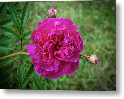 Metal Print featuring the photograph The Peonie by Mark Dodd