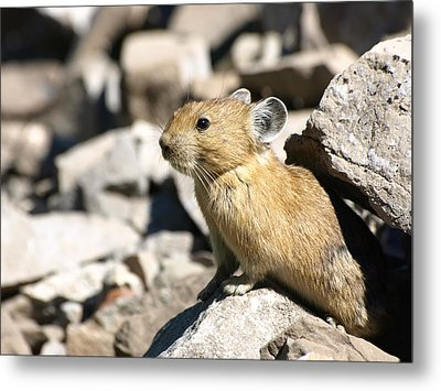 The Pika Metal Print by DeeLon Merritt