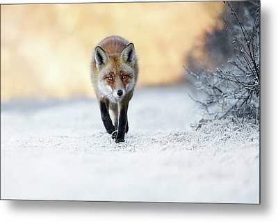 The Red, White And Blue - Red Fox In The Snow Metal Print