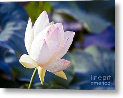 The Sacred Lotus Metal Print by Sharon Mau