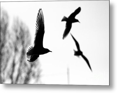 The Seagull Flying  Metal Print