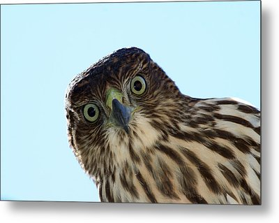 The Staring Competition Metal Print