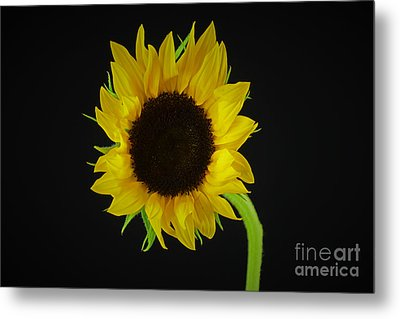 The Sunflower Metal Print by Ray Shrewsberry