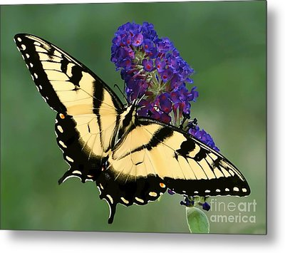 Metal Print featuring the photograph The Swallowtail by Sue Melvin