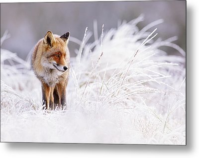 The Thinker - Red Fox In A Wintery Landscape Metal Print