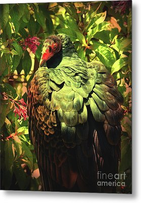 The Turkey Vulture . Photoart . R6805 Metal Print by Wingsdomain Art and Photography