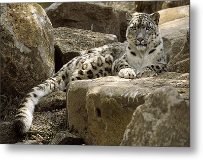 The Watchful Stare Of A Snow Leopard Metal Print by Jason Edwards
