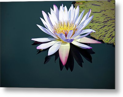 Metal Print featuring the photograph The Water Lily by David Sutton