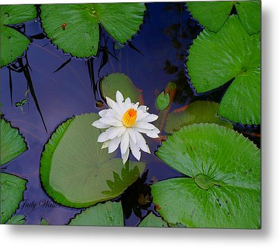 The Water Lily Metal Print by Judy  Waller