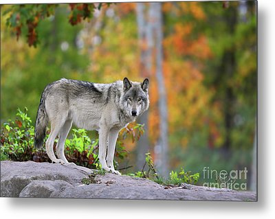 The Wolf. Metal Print