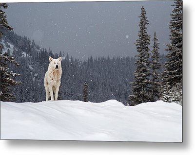 The Wolf Metal Print by Evgeni Dinev