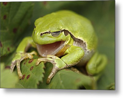 The Yawning Tree Frog Metal Print by Roeselien Raimond