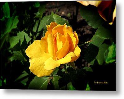 The Yellow Rose Of Garden Metal Print by Tom Buchanan