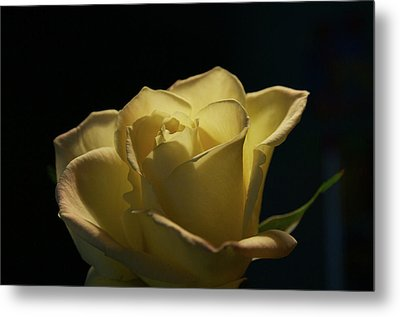 Metal Print featuring the photograph The Yellow Rose by Sheryl Thomas