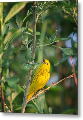 Metal Print featuring the photograph The Yellow Warbler by Bill Wakeley