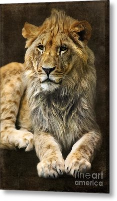 The Young Lion Metal Print by Angela Doelling AD DESIGN Photo and PhotoArt