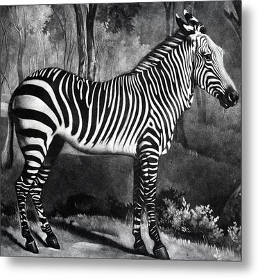 The Zebra Metal Print by George Stubbs