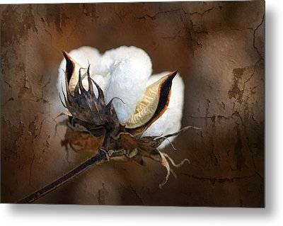 Them Cotton Bolls Metal Print by Kathy Clark