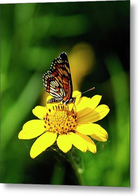 Theona Checkerspot Metal Print by Bill Morgenstern