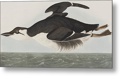 Thick-billed Murre Metal Print